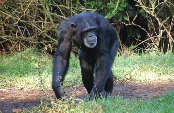 Komono : En tirant sur un chimpanzé, il tue un habitant de sa ville