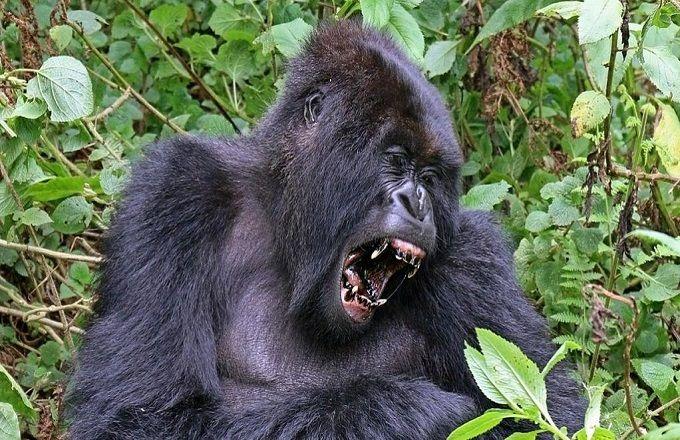 Congo : Un gorille blessé agresse sauvagement un homme à Zanaga